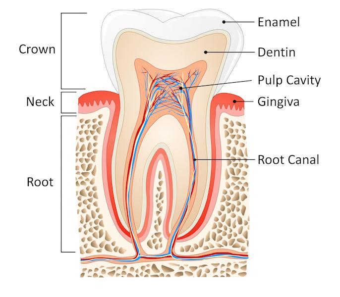 Diagram of Tooth | Root Canals Van Nuys CA